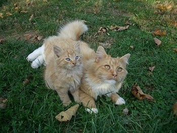 Two orange with white Catsare laying on top of each other outside in grass and they are looking up. One is a small kitten adn the other is a larger adult cat.