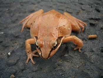 Close-up front view - A light brown walking wood frog is walking down a mud surface. It has lighter tan/yellow eyes and a black/brown stripe down the side of its face. It has a wide belly.