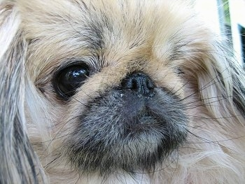 Close up - The face of a Tan Pekingese. The dog has a pushed back nose and dark eyes.