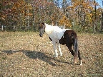 The back left side of a brown and white Pony that is standing in a brown grassy field with colorful trees behind her.