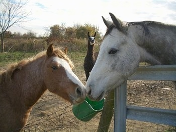 A pony and a horse are touching noses with a green bucket attached to the fence behind them. There is a brown with white Llama behind them in the background.
