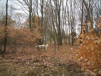 The left side of a Great Pyrenees dog standing in the Woods that is covered in brown fallen leaves.