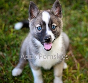 Close up view from the front looking down at the dog - A happy, perk-eared, blue-eyed, grey and white with tan and black Pomsky puppy sitting on grass looking up. Its mouth is open and tongue is out. The words - Apex Pomskies - are overlayed.