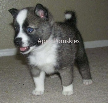 Front side view - A blue-eyed, grey and white with tan and black Pomsky puppy is standing on a carpet and looking to the left. The dog's tail is curled up over its back. The words - Apex Pomskies - are overlayed.