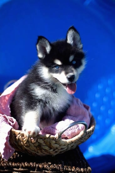 Front side view - A perk-eared, happy-looking, black with white Pomsky puppy is sitting in a wicker basket. Its mouth is open and tongue is out. Behind it is an empty kiddie pool making the background a bright blue color to match the dogs bright blue eyes.