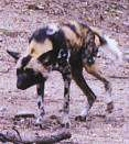 A black with tan and white African Wild Dog is walking across a dirt surface. Its head is lower than his body.