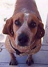 Close up - A red with white English Coonhound is standing on a wooden step and it is looking up.
