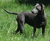 A black American Blue Lacy is standing in grass and it is looking to the left, which is the opposite of its body.