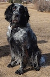 A black with white Blue Picardy Spaniel is sitting on brown grass and it is looking forward.