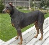 A black with brown Canis Panther is standing on a wooden porch and it is looking to the left.