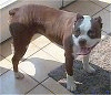 A brown with white Olde Boston Bulldogge is standing on a tiled floor and it is looking to the left. Its mouth is open and tongue is out.
