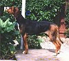 Left Profile - A brown and black Finnish Hound is standing on a porch and it is looking to the left.