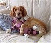 A tan with white French Brittany is laying on a couch and it is laying its arm around a pink and black with white doll.