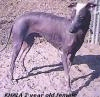 A grey with white Hairless Khala is standing in dirt and it is looking to the left.