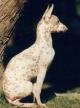 Right Profile - A white with tan Peruvian Kenny Omeganca Orchid is standing in grass and looking forward. There is a tree behind the dog.