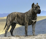 A brown brindle with white Presa dog standing in a sandy terrain