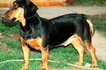 Close up - A black with tan Slovakian Hound is standing in grass and it is looking to the left.