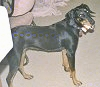 A black and tan Transylvanian Hound is standing on a carpet. Its head is tilted to the left and it is looking forward.