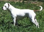 Left Profile - A white with brown Vanguard Bulldog is standing in grass and it is looking to the left.